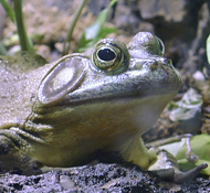 Bullfrog up close