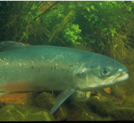 Close up photo of the Atlantic Salmon